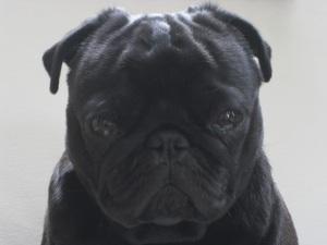 Beckett the rockin' pug