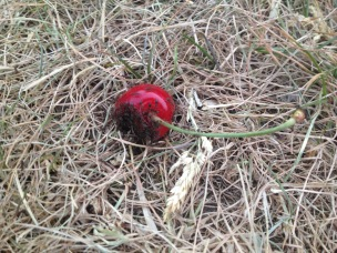 ants on a cherry