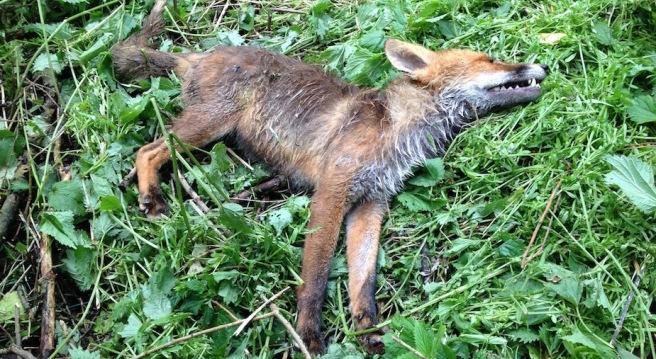 dead fox 1