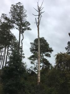 pine tree dying