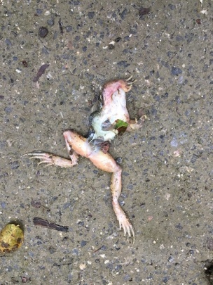 road kill frog or toad