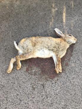 road kill rabbit