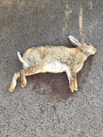 road kill rabbit