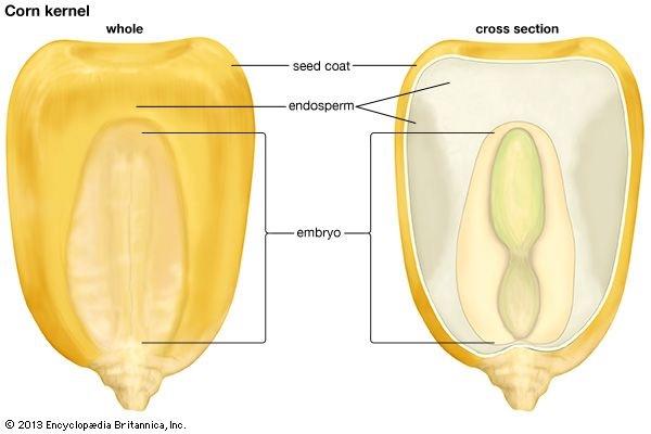 corn kernel anatomy