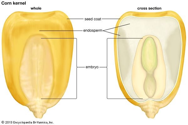 corn kernel anatomy