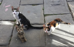 cats in Motovun